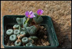 Conophytum taylorianum subsp ernianum (1)