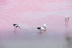 Pied stilts in the Pink.