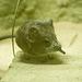 Elephant shrew 2