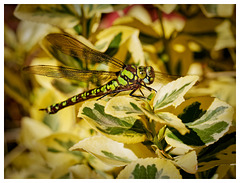 Libelle (PiP)