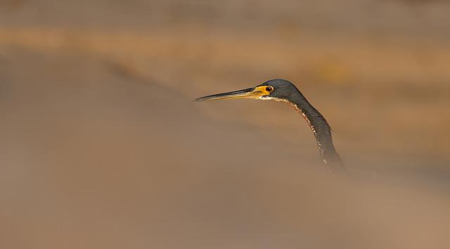 Heron ,Panama