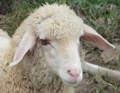 Austrian sheep
