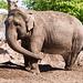 Elephant throwing soil 1.