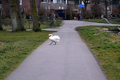Why did the Swan cross the road?