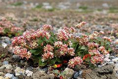 Alpine Buckwheat