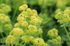 Blüten vom Frauenmantel (Alchemilla)