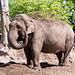 Elephant throwing soil 2.
