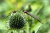 Kleinlibelle auf einer Distelblüte