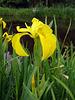 Yellow Flag Iris.   Iris pseudacorus