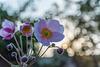 12/2018 (MM 2.0 Nr.40) Anemonenblüte