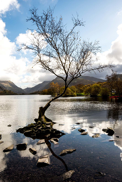 The lone tree, Llyn Padarn3