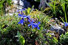 Frühjahrsenzian (im PIP Enzianknospen des stängellosen Kreuzenzians)