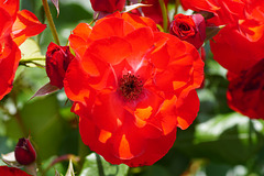 Rote Rose in der Mittagssonne