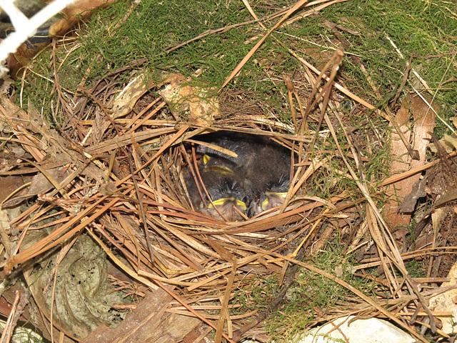 Baby wrens 23 June 2020