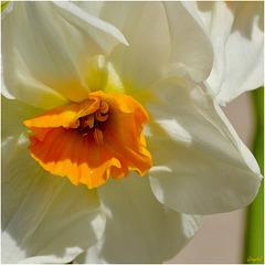 Coeur de Narcisse