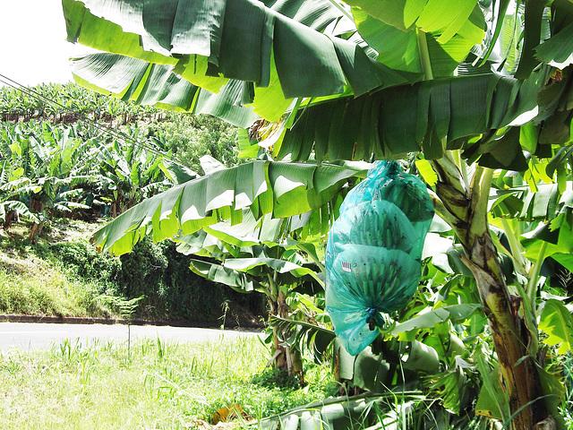 Régime de bananes, Gros-Morne, Martinique