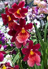 "Orchidea - Burrageara ""Nelly Isler"""
