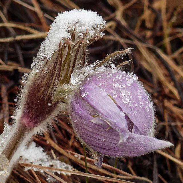 Ice crystals on Prairie Crocus