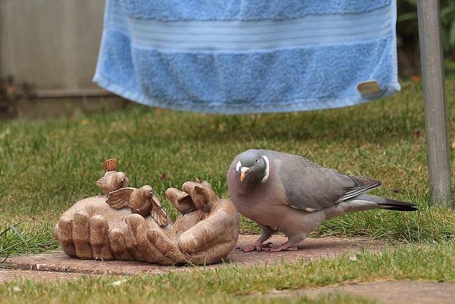 IMG 7501 Pigeon dpp