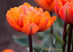 Tulip Orange Princess  153 copy