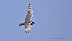 Guifette moustac - Chlidonias hybrida - Whiskered Tern