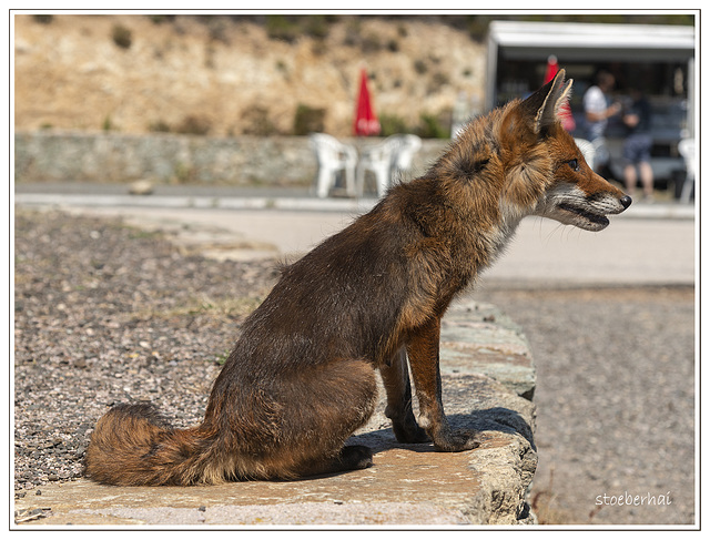 Fox on highway D81 Bocca di Vezzu