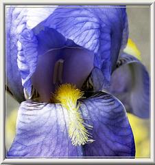 Schwertlilie (Iris). ©UdoSm