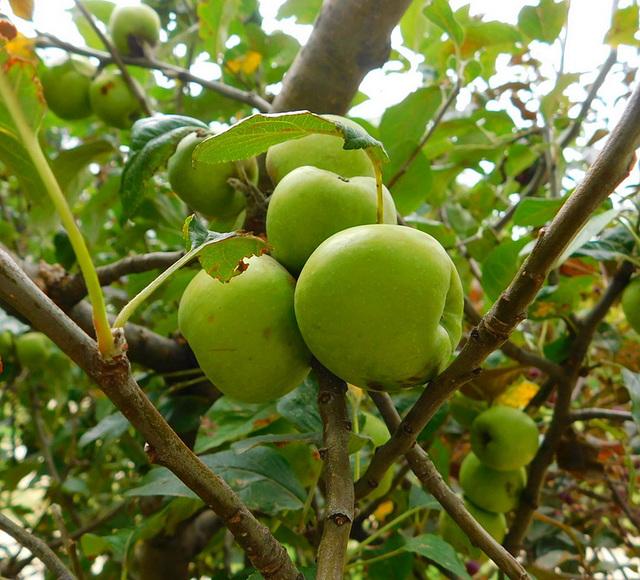 Des pommes...