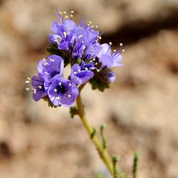 WIldflowers at Goosenecks State Park, Utah