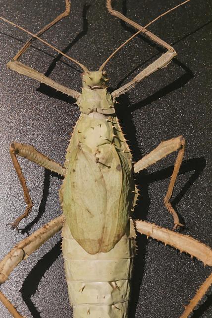 Heteropteryx dilatata (Malaisie)