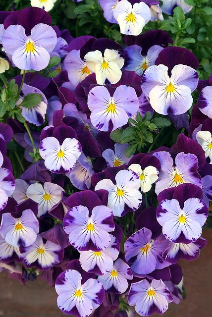 Le viole del pensiero sono fiori intellettuali?