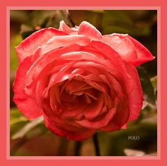 Rosas en mayo