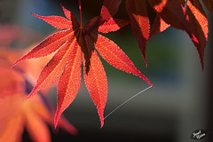 223/366: Japanese Maple Leaf and Spider Web