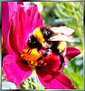 Bumblebee sporty... ©UdoSm