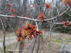 fleur de l'érable rouge (acre rubrum)