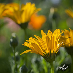8/366: African Daisies