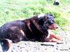 Old Dog Resting.