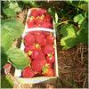 Frische Erdbeeren!