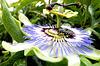 Passionsblume mit Besucher... ©UdoSm
