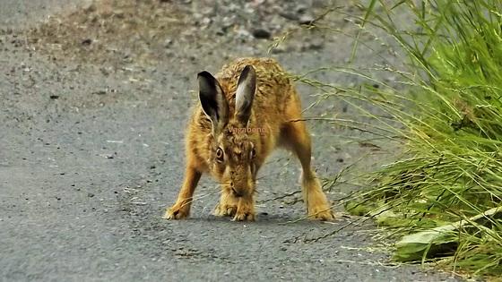 Hare at Bay