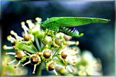 Grünes Heupferd (Tettigonia viridissima) ©UdoSm