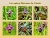 Les ophrys bécasses