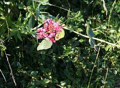 Brimstone Butterfly (Gonepteryx rhamni)  on Milkweed 05