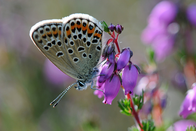 Silver-studded Blue female on bell heather