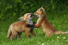 Des renardeaux qui s'amusent !