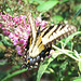 Eastern Tiger Swallowtail ..