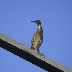 Green heron on power line pylon