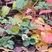 Fraisiers en automne