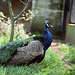 Peacock, London Zoo, 1980