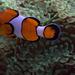 IMG_4776Clownfish
